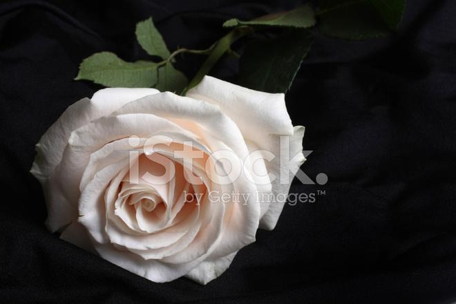 Rosa Bianca Su Sfondo Nero Fotografie Stock Freeimagescom