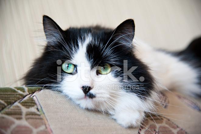 Gatto Maschio Bianco E Nero Con Occhi Verdi Fotografie Stock