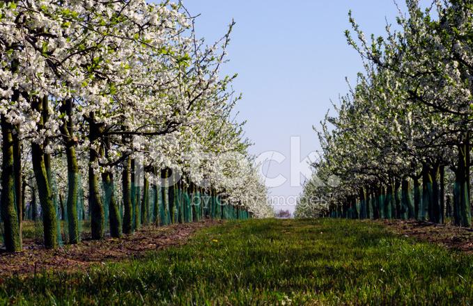 Giardino dei ciliegi in primavera fotografie stock freeimages.com