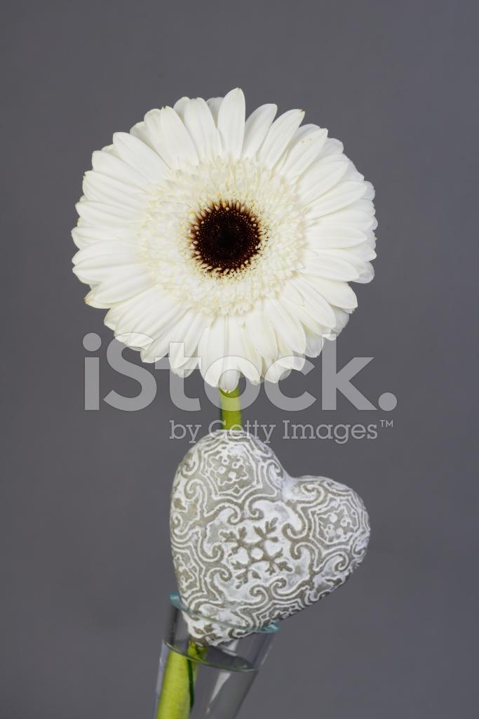 Beautiful Single White Daisy With Heart Shape Isolated Stock
