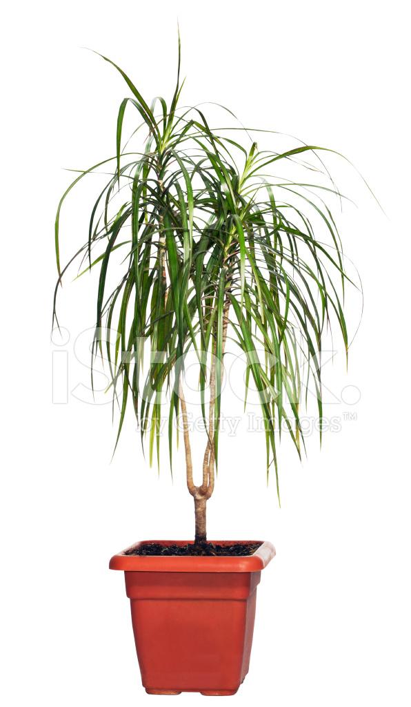 Цветы пальмы домашние