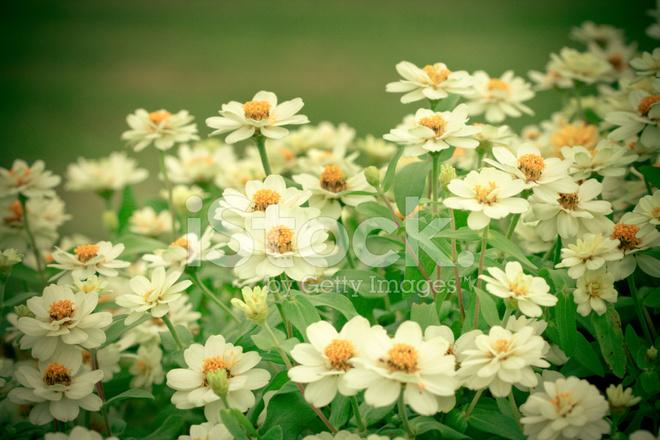 Schöne Weiße Blume IN Vintage UND Retro Farbton Stockfotos ...
