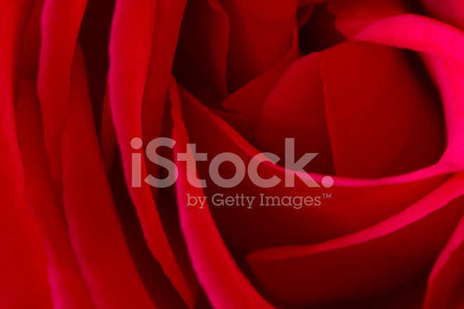 Red Rose Macro Closeup Photograph Symbolic Of Love And Compassio