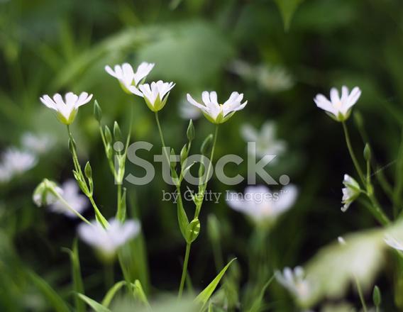 Bianco fiori selvatici primaverili, cerastio