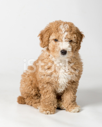 Spansk Vattenhund Stockfoton Freeimages Com