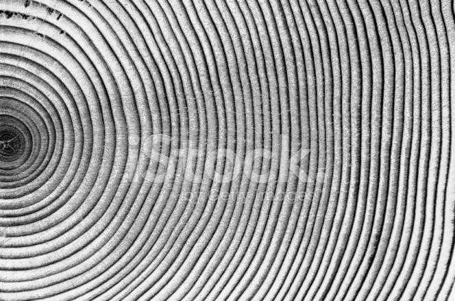 Legno Bianco E Nero : Anelli di legno dell albero bianco e nero fotografie stock