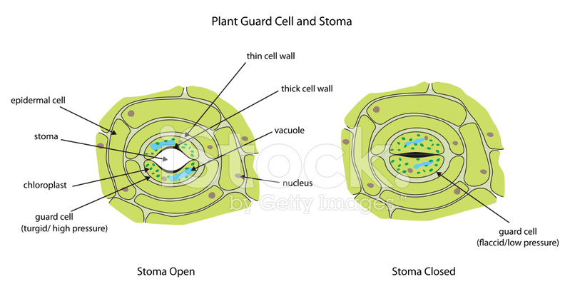 Plant Guard Cells With Stoma Fully Stock Vector