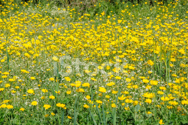 Sarı Ve Beyaz çiçekler Bahar çiçek Açan çayırda Stok Fotoğrafları