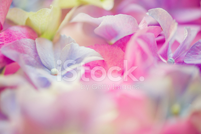 Hortensia Hydrangea Spring Flowers Arrangement Stock Photos