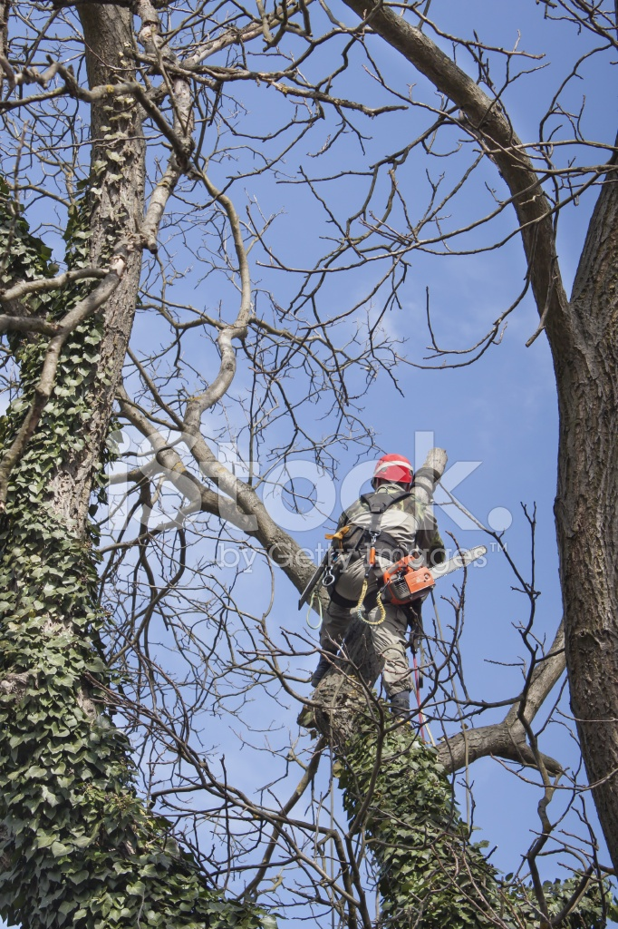Arborist Using A Chainsaw TO Cut Walnut Tree Stock Photos