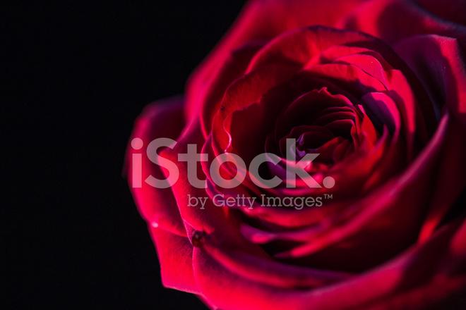 Rosa Rossa Su Sfondo Nero Fotografie Stock Freeimagescom