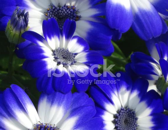 Bild Von Weißen UND Blauen Gänseblümchen Blumen, Zinerarie Pflanzen ...