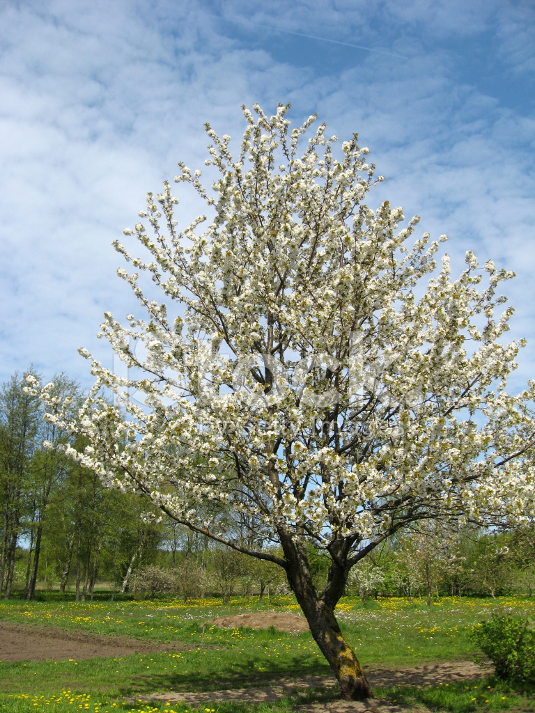 albero di ciliegio in fiore fotografie stock
