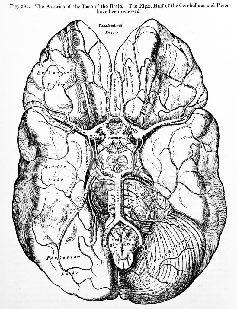 Antike Medizinische Illustrationen | Hirnarterien Stockfotos ...