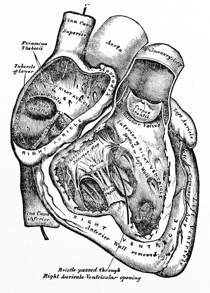Antique Medical Illustration | Human Heart Stock Photos ...