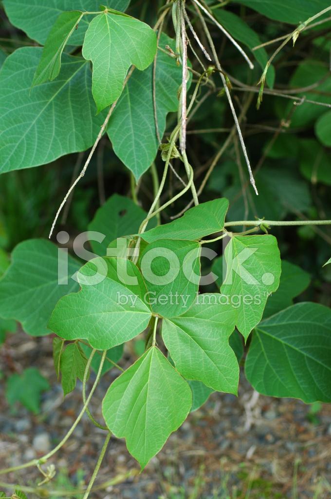 Kudzu, Pueraria Lobata, Leaves Stock Photos - FreeImages.com  Kudzu, Pueraria...