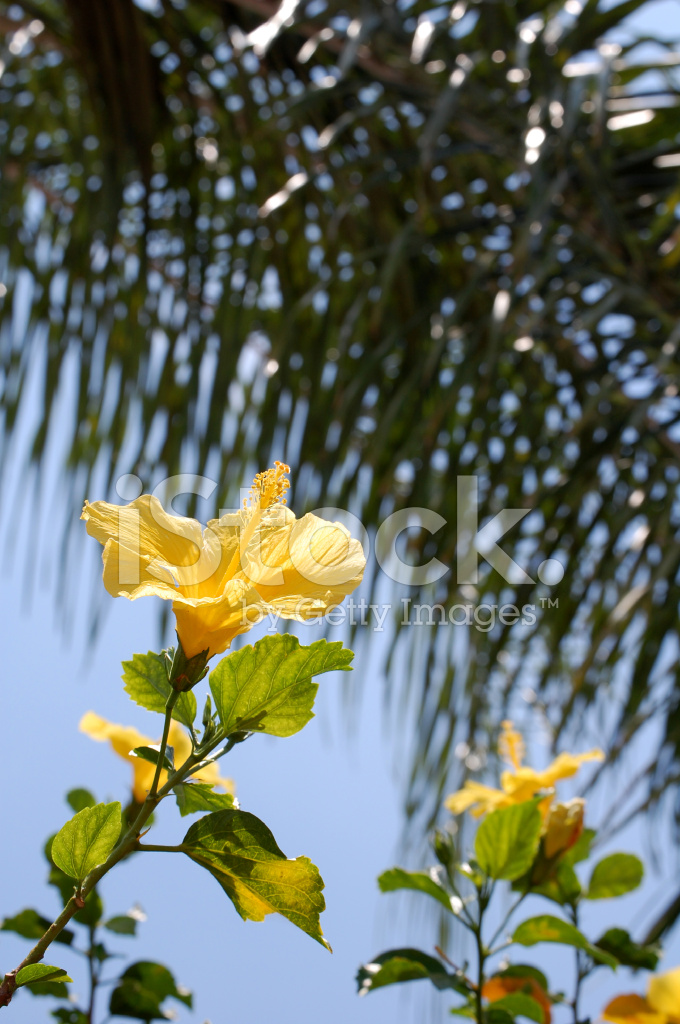 Yellow flower with palm tree background stock photos freeimages premium stock photo of yellow flower with palm tree background mightylinksfo