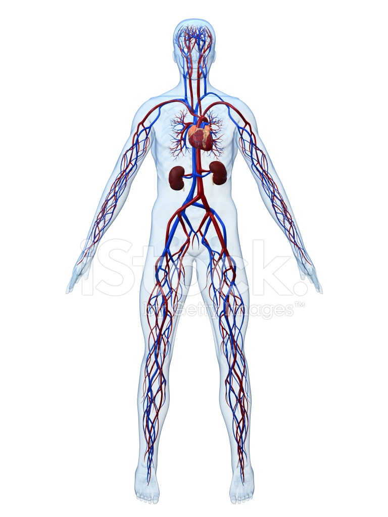 Cardiovascular System Stock Photos Freeimages