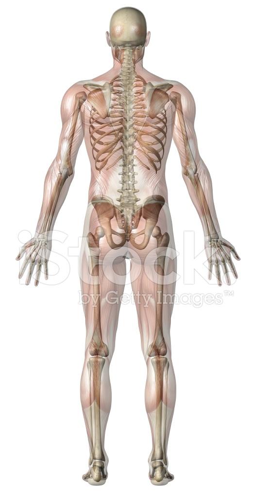 Cuerpo Humano DE Un Hombre Con Músculos Transparentes Y Esqueleto ...