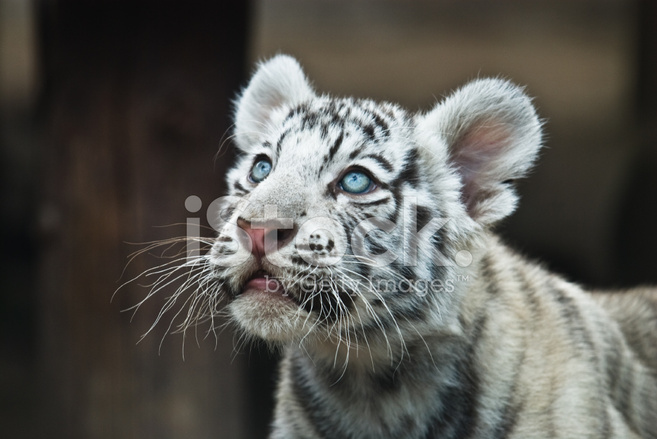 Weißer Tiger Stockfotos Freeimagescom