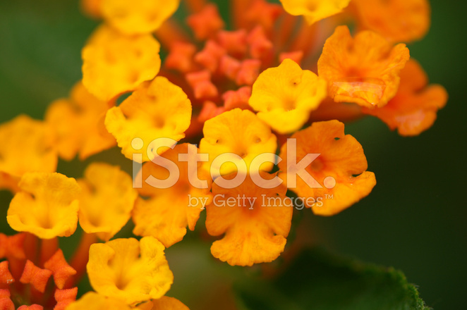 Fiori Gialli E Arancioni.Fiori Gialli E Arancioni Fotografie Stock Freeimages Com