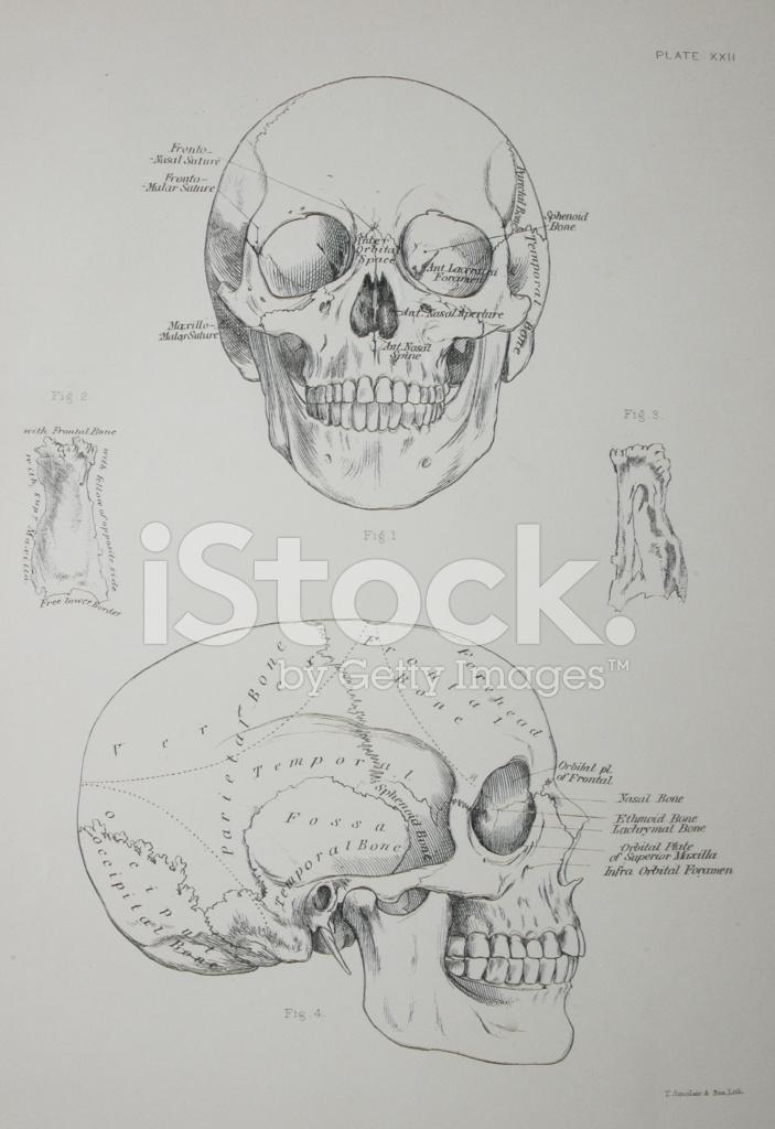 Diagrama DE Cráneo Humano Stock Vector - FreeImages.com