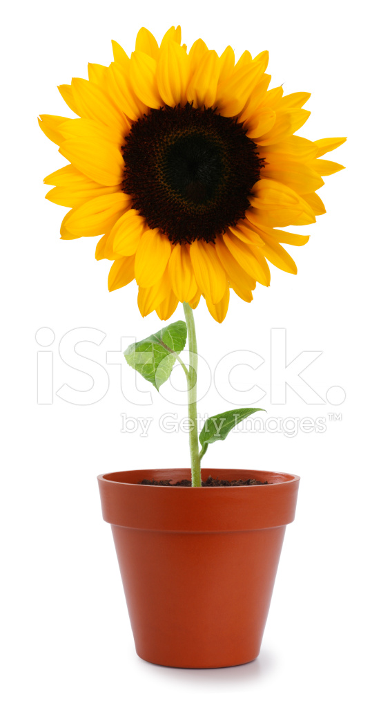 Sunflower IN A Pot Stock Photos FreeImagescom