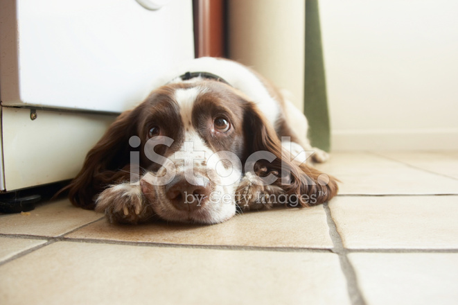 English Springer Spaniel Soulful Eyes Stock Photos