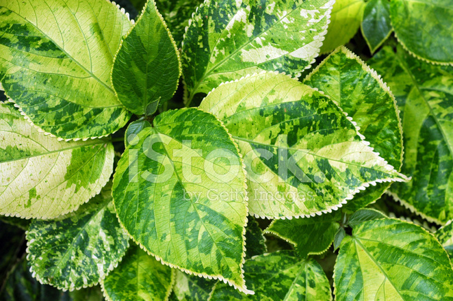 Variegated Leaves Acalypha Wilkesiana Stock Photos Freeimagescom