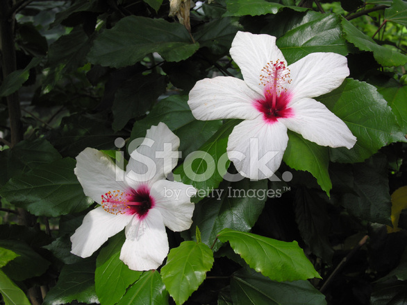 White And Pink Hibiscus Flowers Stock Photos Freeimagescom