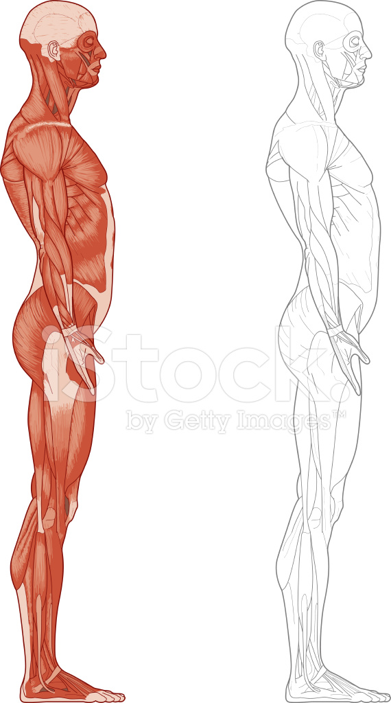 Human Body Muscles Stock Vector Freeimages