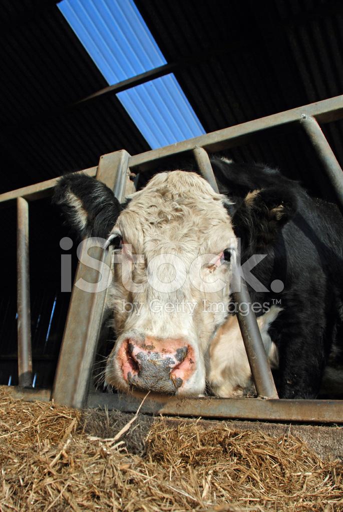 Увиденная во сне корова с рогами, для женщины может означать появление сильной соперницы.
