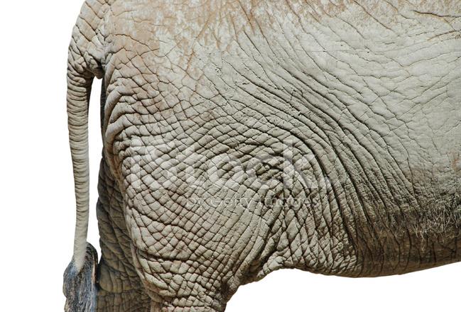 Elephant ass stock photos - Elephant assis ...