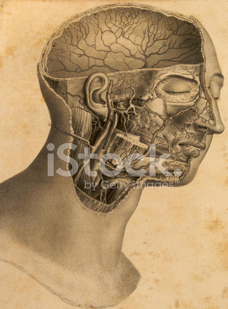Platte Der Antiken Anatomie Des Menschlichen Kopfes Stockfotos ...