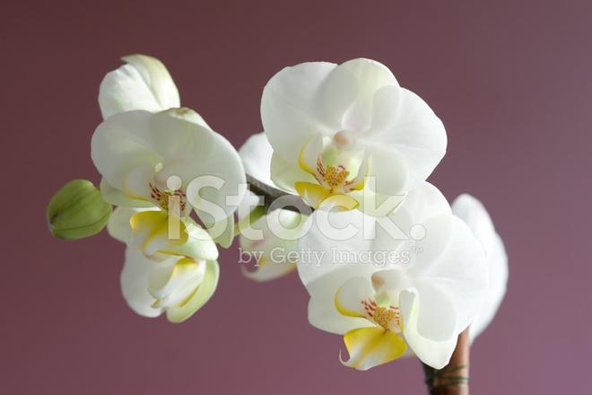 orhideya-simvol-seksualnosti