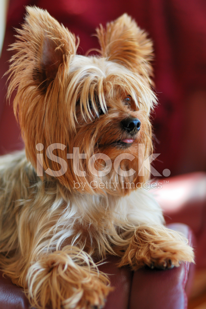 Yorkie With Tongue Out stock photos - FreeImages.com