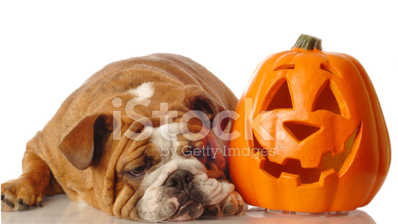 Halloween Kurbis Auf Englisch.Englische Bulldogge Mit Festlichen Halloween Kurbis Stockfotos Freeimages Com