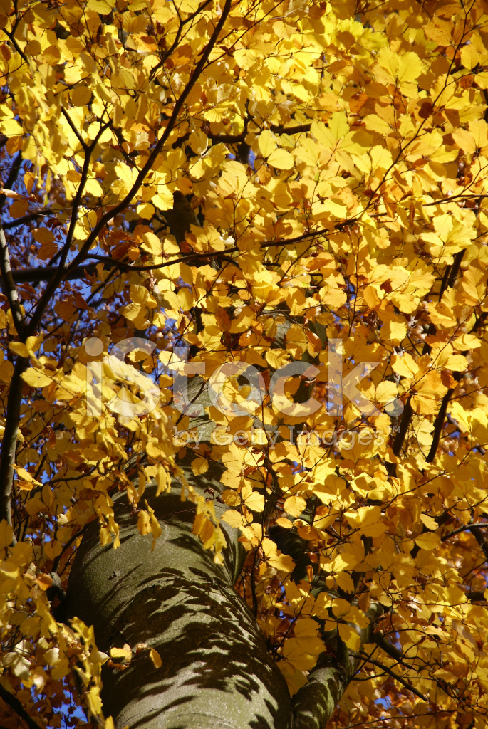 Sonbahar Boyama Kayın Ağacı Stok Fotoğrafları Freeimagescom