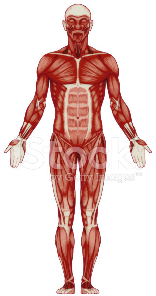 Human Body Muscles Bitmap Stock Photos Freeimages