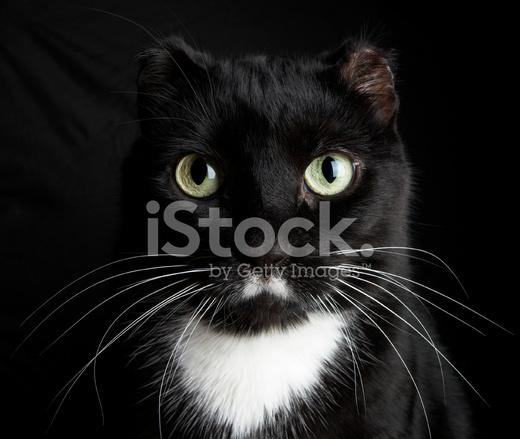 Czarny Kot Z Krótkie Uszy Zdjęcia Ze Zbiorów Freeimagescom