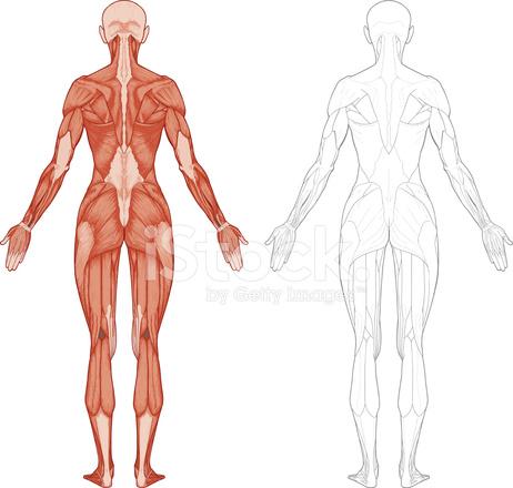 Weiblichen Körper, Muskeln Stock Vector - FreeImages.com