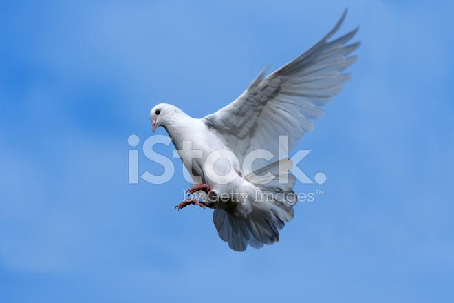 Paloma Blanca Volando En El Fotografías De Stock Freeimagescom