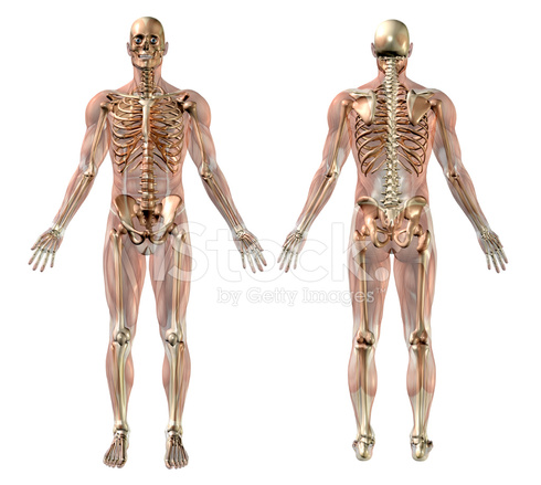 Male Skeleton With Semi Transparent Muscles Front Back Stock Photos ...