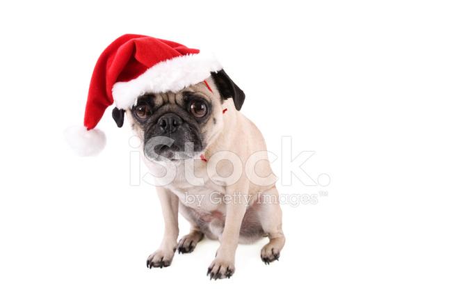 Mops Bilder Weihnachten.Weihnachten Mops Stockfotos Freeimages Com