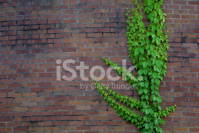 Climbing Ivy Stock Photos Freeimages Com