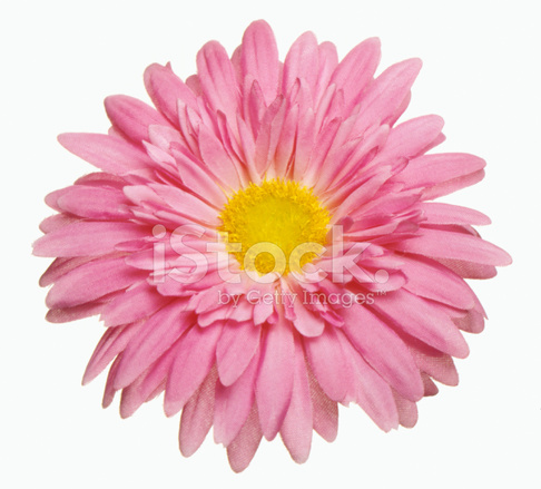 barbeton flor de la margarita de gerbera cortado en blanco