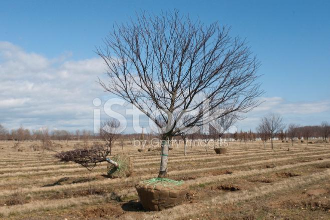 Bäume Umpflanzen bäume umpflanzen stockfotos freeimages com