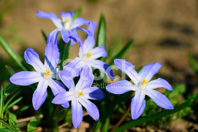 Blue Anemone Flowers stock photos - FreeImages.com