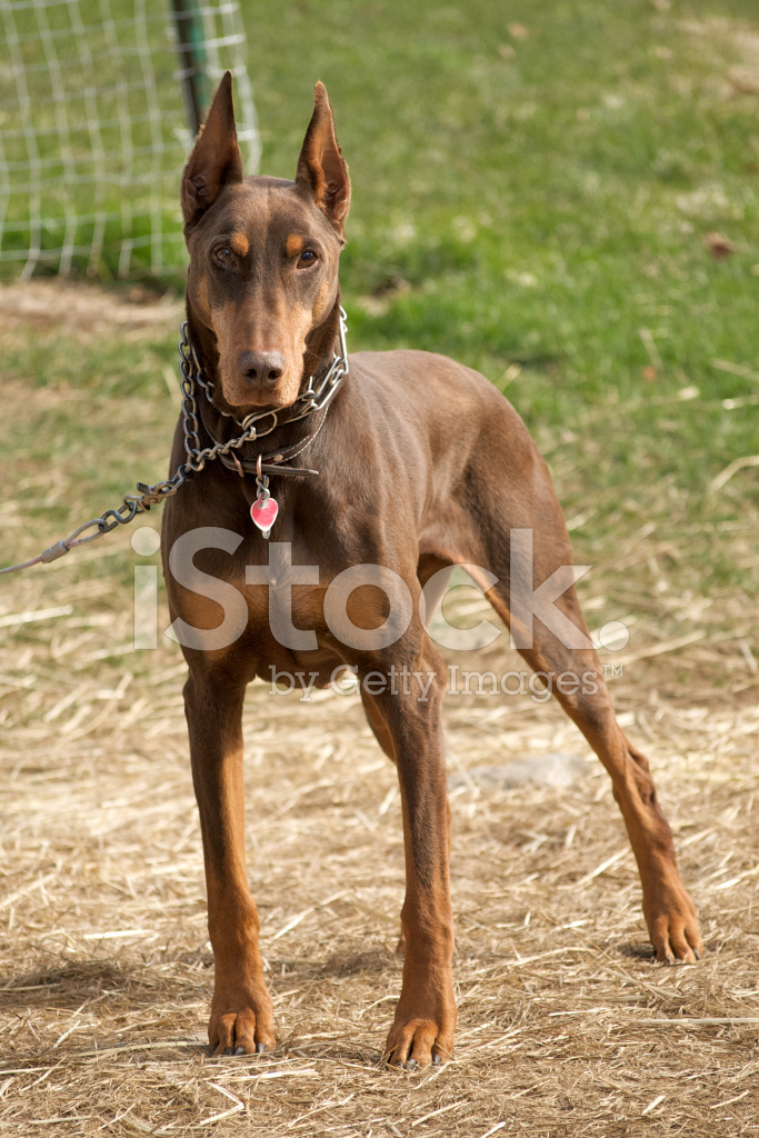Red and rust doberman stock photos for Types of dogs with photos