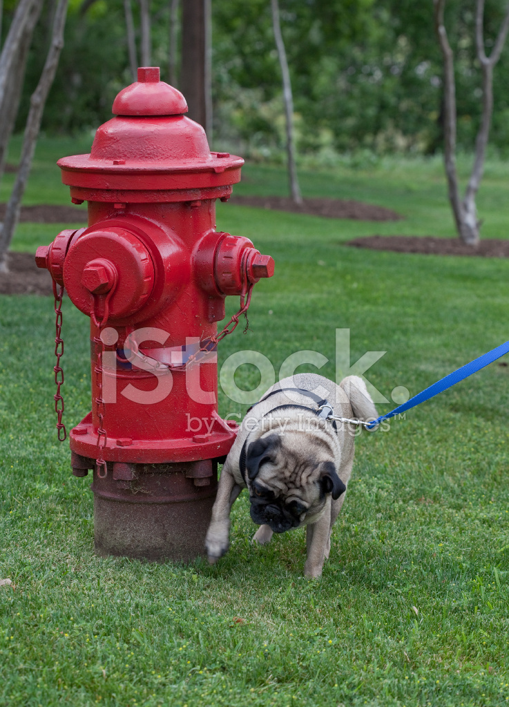 Dog Looking At Computer With Picture Of Fire Hydrant